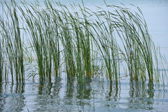 Grass in wetland Royalty Free Stock Photography