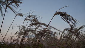 Grass/wheat field. During sunset in Seoul, South Korea, World Cup Haneul Sky Park Stock Images