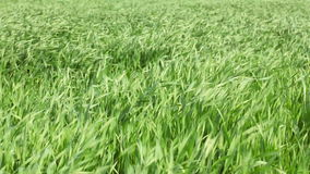 Grass or wheat waving on wind stock video footage