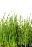 Grass on White Royalty Free Stock Photos