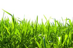Grass on white. Isolated green grass on white background Stock Images