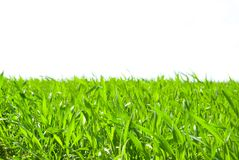 grass on white Stock Photos