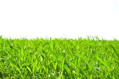 grass on white Stock Photos