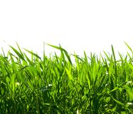 Grass on white. Isolated green grass on white background Royalty Free Stock Images
