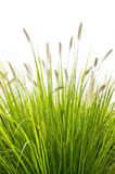 Grass on white background Stock Photos
