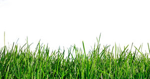 Grass on white background Stock Image