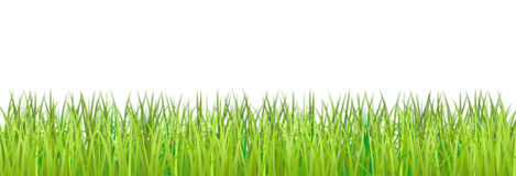 The grass is on a white background. Stock Photography