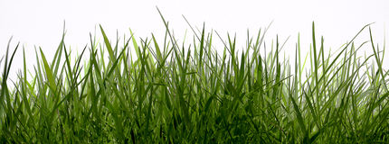 Grass. On a white background royalty free stock photo
