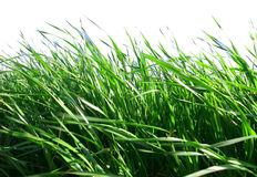 Grass with White Background. Green grass in sunshine with white background Stock Photography
