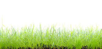 Grass on white background. Wet grass on white background Stock Photo