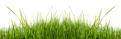 Grass on white background. Panoramic view of green grass on white background Stock Image
