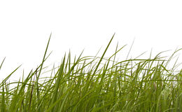 Grass on white background. Royalty Free Stock Photography
