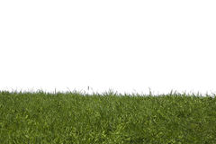 Grass on a white background. The image of a green grass under a bias on a white background royalty free stock images