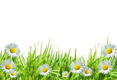 Grass with white daisies against  white. Grass with white daisies against a white background Stock Photo