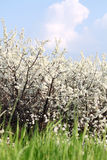 Grass white flowers and blue sky spring scene Stock Photography