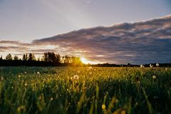Grass and white flowers at sunset Stock Image