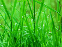 Grass  wild Royalty Free Stock Image