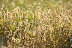Grass in Wildnerness with Backlight Royalty Free Stock Photos