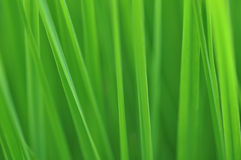 Grass in the wind. Closeup shot of green grass in the wind. The motion blur make this photo perfect as a background Stock Photos