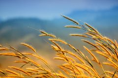 Grass in the wind. In the morning Royalty Free Stock Image