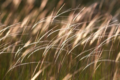 Grass in the wind. Beautiful grass in th wind in sunrise Royalty Free Stock Photos