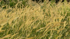 Grass in the wind stock footage
