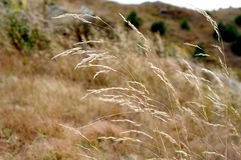 Grass in WInd. Grass and grassland on the top of the moutains Royalty Free Stock Photos