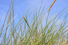 Grass in the wind. Dune grass in the wind Royalty Free Stock Photography