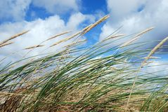 Grass in the wind. Dune grass in the wind Stock Images