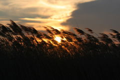 Grass in wind. Spear-grass in sunset Royalty Free Stock Photos