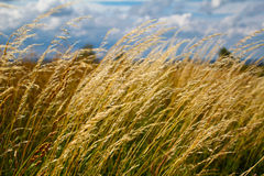 Grass in the wind Royalty Free Stock Images