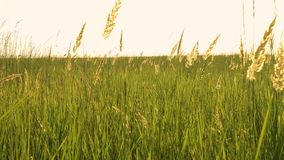 Grass on a wind. On evening meadow stock video