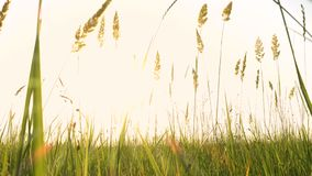 Grass on a wind. On evening meadow stock footage