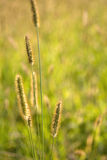 Grass in the wind Stock Image