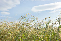 Grass in the wind. Royalty Free Stock Photography