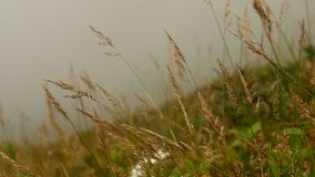 Grass in the wind with fog nature background stock video