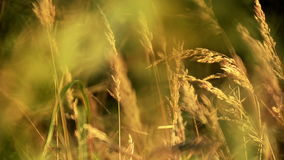 Grass in the wind Royalty Free Stock Photo