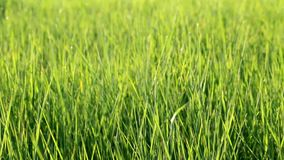 Grass on wind. Grass is moving in the wind - abstract background stock video footage