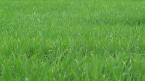 Grass In The Wind - Slow Motion stock video footage