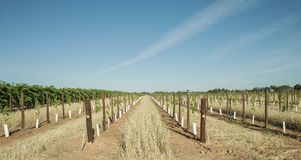 Grass Windbreak Between Rows of Young Vines. Royalty Free Stock Images