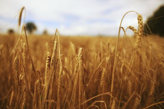 Grass in windy field Stock Photo