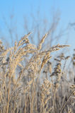 Grass in winter hoarfrost Royalty Free Stock Photos