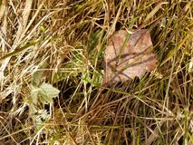 Grass after the winter. Old grass after winter season. Spring is comming. Old leaves and new plants Stock Photo