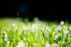 Free Grass With Dew Drops Royalty Free Stock Photos - 6465338