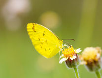 Grass yellow butterfly Royalty Free Stock Photos