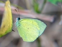 Grass yellow butterfly Stock Images