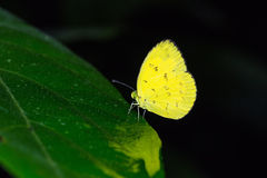 Grass yellow butterfly. Close up of common grass yellow (Eurema hecabe) butterfly perching on green leaf stock photography