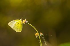 Grass Yellow Butterfly Royalty Free Stock Photo