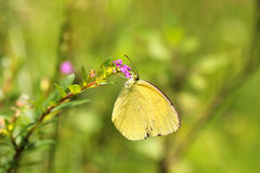 Grass Yellow or Common Grass Yellow (Eurema hecabe) butterfly Royalty Free Stock Photos