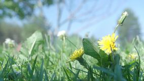 Grass with yellow dandelion. At summer sunny day. Close up shot stock video footage